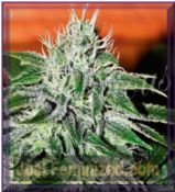 Delicious Critical x Jack Herer Auto Feminised Cannabis Seeds